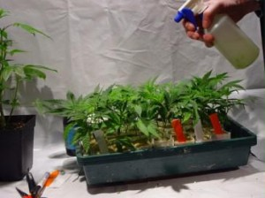 watering your marijuana